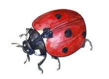 Watercolor Single Ladybug Insect Animal Isolated On A White Background Illustration.