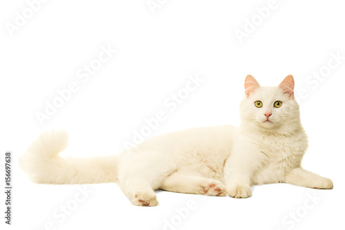 Turkish Angora cat isolated in white Canvas Print