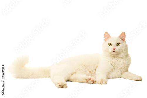Turkish Angora cat isolated in white Wallpaper Mural