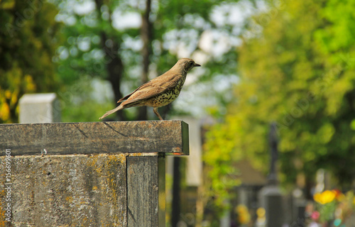 Fotografía  song thrush (Turdus philomelos) sitting on the tombstone