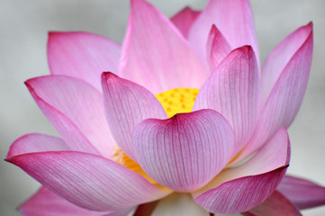 Panel Szklany Japoński Blossom lotus flower