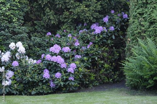 Staande foto Tuin Rhododendron im Garten