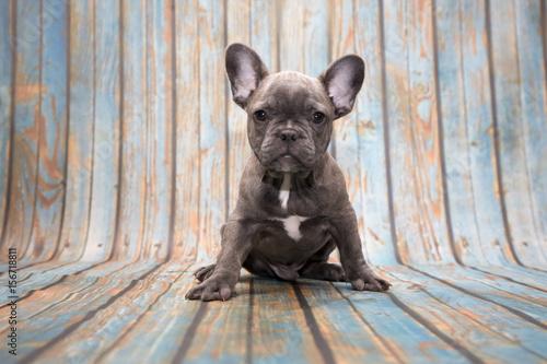 Foto op Plexiglas Franse bulldog French Bulldog on blue wooden background
