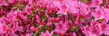 Rhododendron - Banner