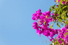 Purple Bougainvillea Flowers A...