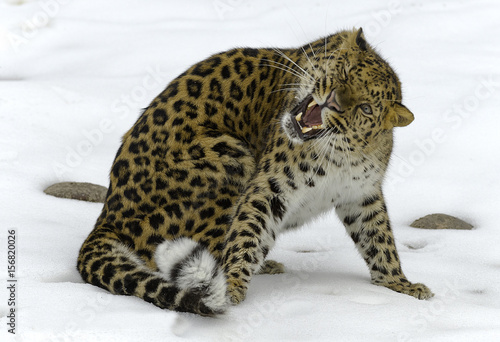 Amur Leopard in Winter Canvas Print