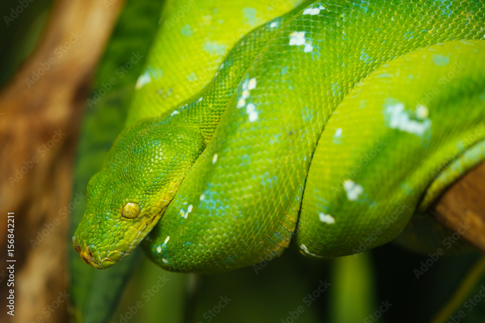 Green tree python Foto, Poster, Wandbilder bei EuroPosters