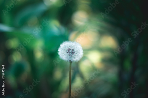 Fototapety, obrazy: Dandelion in the sun in the spring on a blurred background.