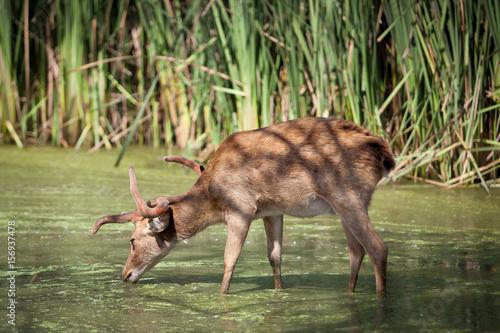 Deer in the pond