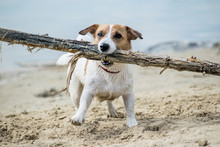Dog Jack Russell Plays With Bi...