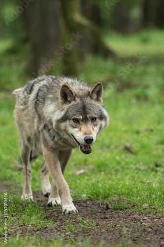 Valokuva  Loup