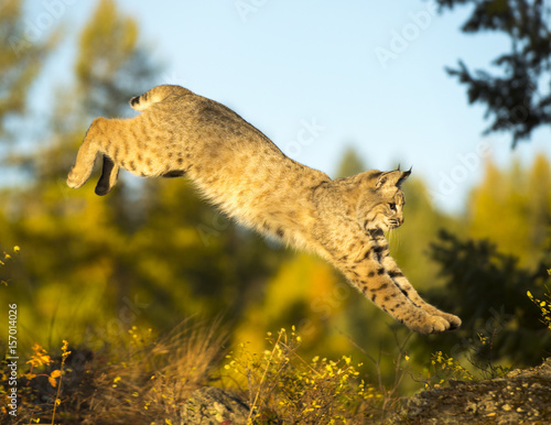 Photo Leaping Bobcat