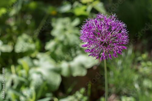 Purple flower allium ornamental onion flower ball shape on a long purple flower allium ornamental onion flower ball shape on a long stem spring mightylinksfo
