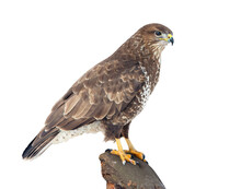 Common Buzzard (Buteo Buteo) ...
