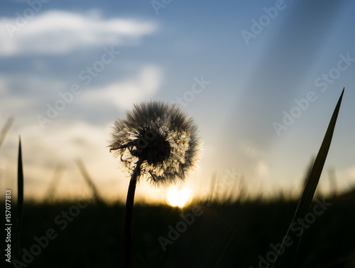 Poster Paardenbloem Dandelion in the grass during sunset. Slovakia