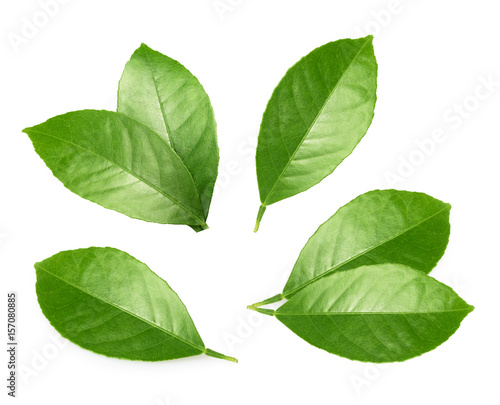 Citrus leaves isolated on white background