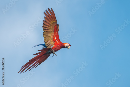 Photo  Scarlet macaw parrot flies with blue sky on the background