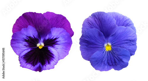 Tuinposter Pansies Pansies isolated on white background.