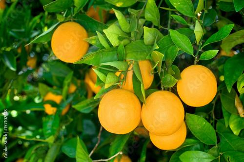 Vászonkép Orange tree