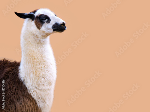 Llama on soft peach background