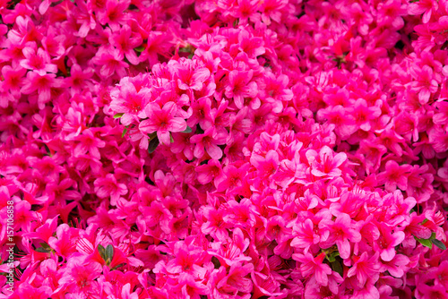 rhododendron flower, pink flower full background