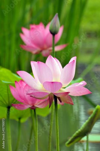 Foto op Canvas Lotusbloem Blossom lotus fkower