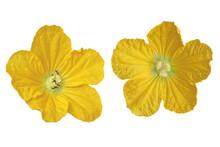 Wax Gourd Flower