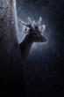 Muntiacus muntjak or fea's barking deer.