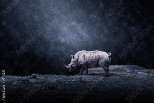 White rhinoceros or square-lipped rhinoceros.