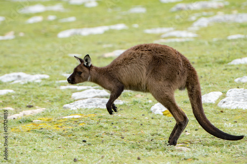 Foto op Canvas Kangoeroe Kangaroo portrait while jumping on grass