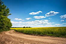 Dirt Road In Flowering Field, ...