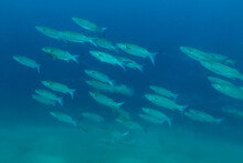 School Of Fish (Flathead Mullet) Sand Ground With Blue Background In Indian Ocean. Southeast Asia