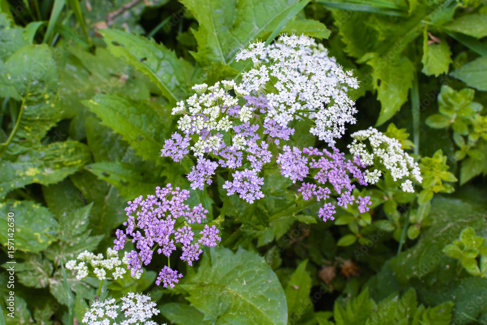 Small White And Purple Flowers On A Plant In A Forest Foto Poster