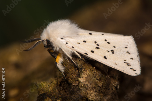 White ermine (Spilosoma lubricipeda) moth at rest. Insect with attractive markings in the family Erebidae