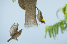 Birds Are Building Nests. Baya Weaver