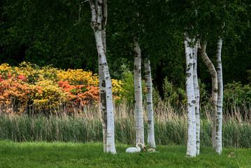 Fototapeta Brzoza Swans Nesting under Some Silver Birch Trees at Barton Turf