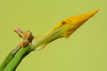 Gele Iris