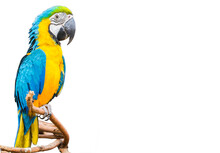 The Blue And Yellow Parrot Or Macaws Isolated White Background.