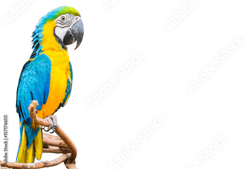 Staande foto Papegaai The blue and yellow Parrot or Macaws isolated white background.