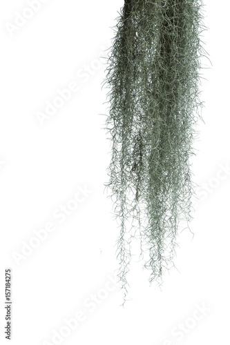 Spanish moss isolate on white background.