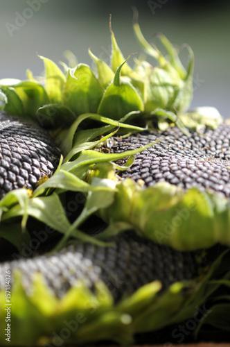 Acrylic Prints Sunflower Helianthus annuus Sonnenblume Suncokret Girasole Tournesol Semi 向日葵 Girasol Seed Sunflower सूरजमुखी Zonnebloem Słonecznik zwyczajny Sonnenblumenkerne Seeds