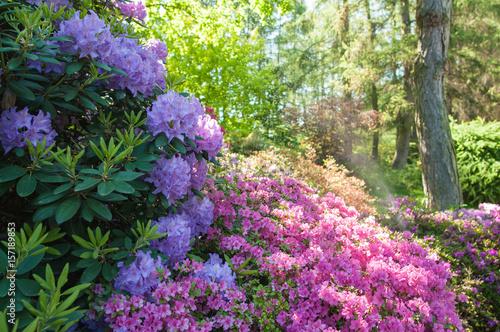 Deurstickers Azalea spring flowers