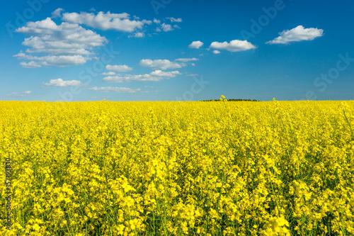 Staande foto Oranje Spring landscape, Rape field