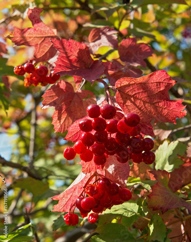 Fotografía  Viburnum drupes among red-green leaves in side sunlight.
