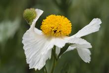 Closeup Of White Romneya Coulteri Flower