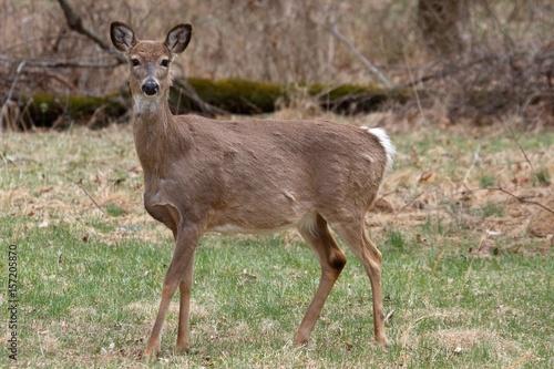 Foto op Aluminium Ree White-tailed Deer Doe