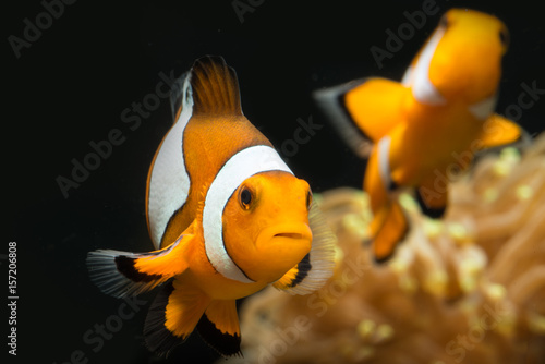 Fotografía  Two clown fish swimming with fast movements and enjoying their time in trpoical