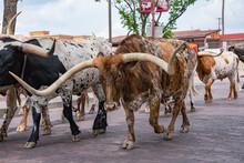 Fort Worth Texas Longhorn Catt...