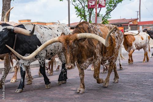 Fort Worth Texas Longhorn Cattle Drive Fototapeta