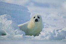 Harp Seal (Phoca Groenlandica) Pup On The Ice, Gulf Of Saint Lawrence, Canada.